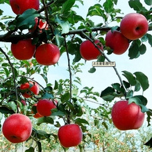 Fresh Delicious Apple With Good Quality From Chinese Apple Fruit Factory