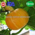 100% pur et naturel extrait de graines de citrouille/extrait de cucurbita pepo semences/poudre d'extrait de graines de citrouille