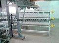 Design galvanizado avesdecapoeira gaiola camada de raça 10,000 aves na nigéria farm