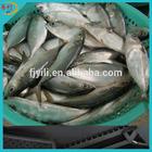 Supply IQF indian mackerel fish whole round