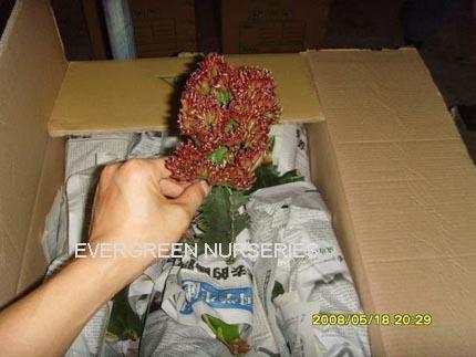 Product categories gt cactus gt euphorbia lactea f cristata variegata