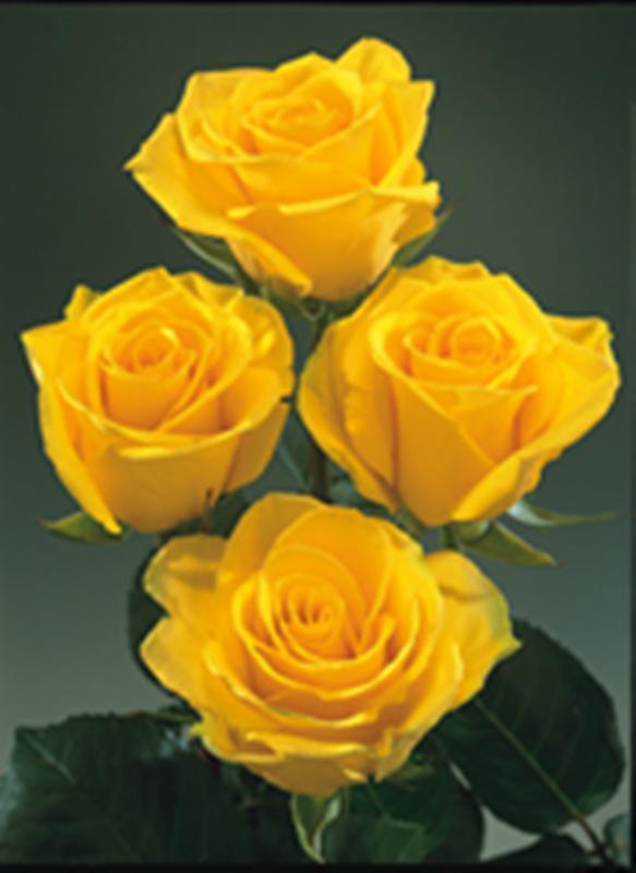 Rosas amarillas flores cortadas identificaci n del - Clases de flores amarillas ...