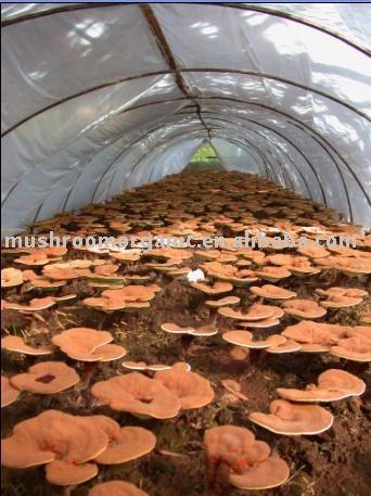 Reishi Mushroom Pictures. Lucidum(Reishi Mushroom)