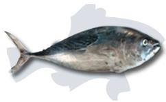 KAWA KAWA fish