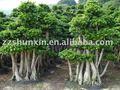بونساي شجرة اللبخ Retusa