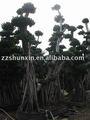 شجرة التين