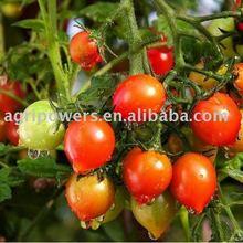 TM510 Tomato seed