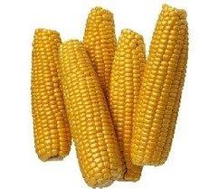 híbrido semillas de maíz