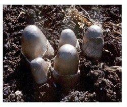 Volvariella volvacea - mushroom