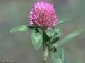 Red Clover Extract 8% Isoflavones