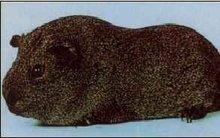 Conejillo de indias razas -- plata Agouti