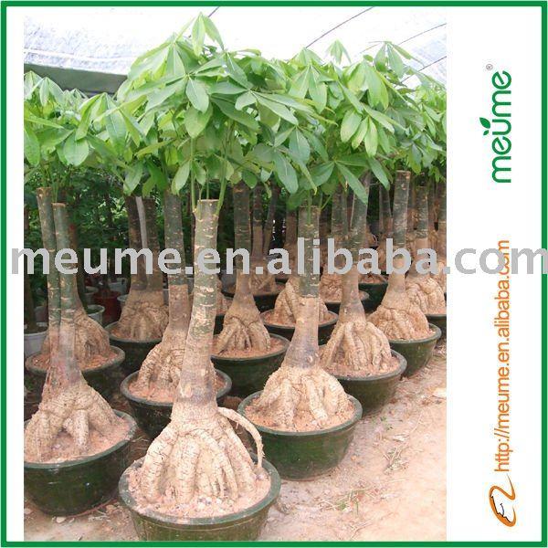 money plant tree. House plant--Money Tree