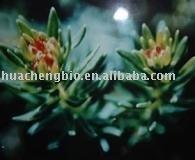 Rhodiola Rosae P. E Rosavins/Salidroside
