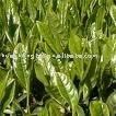 Black tea extract 30-90% polyphenols