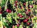 Cranberry( mirtilo) extrato