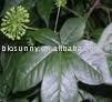 Black Cohosh Triterpenoid Saponins