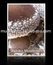 Shiitake mushroom extract, Lentinus edodes extract;shiitake mushroom powder; GMP.HACCP polysaccharide 10%;20%;30%;40%;50%;90%