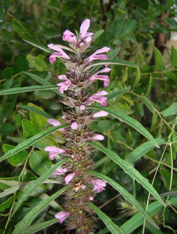Yi-mu-cao Herba Leonuri Extract 10:1 10% 15% 20%