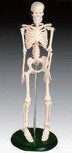 human plastic Skeleton