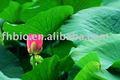 Folha lotus p. E de produtos como diurético e laxante