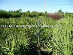 Saw Palmetto Extract 20:1