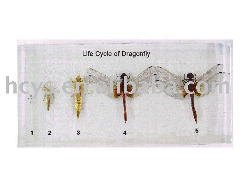 Ciclo de vida de libélula