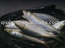 frozen fresh pacific sardine