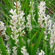 Dwarf Lilyturf Tuber(plant extract)