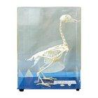Superior dove/piegon skeleton specimen for teaching and medical use
