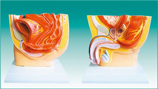 Medical model- human(both male and female) cavum pelvis anatomical ...