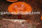 Organic Raw Material Of Ganoderma Extract Coffee