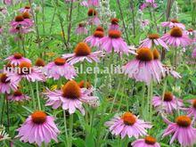 Echinacea Purpurea Extract, polyphenols 4% UV