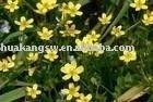 Ranunculus ternatus Thunb