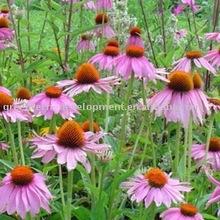 Health Care and Bottom Price Echinacea Purpurea Extract
