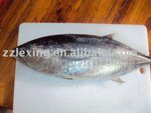 frozen whole roundyellowfin tuna