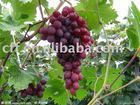 grape Flavour,essence grape