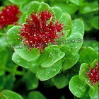 Natural Plant Extract Rhodiola Rosea Powder Extract