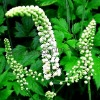 100% Natural Plant Black Cohosh Extract