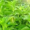 Stevia Extract Steviol Glycosides 90% 95%