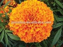 Organic marigold P.E.