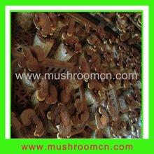 Cultivated Reshi Mushroom Spawn