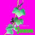 Premium radix puerariae extrato com isoflavonas( puerarin, daidzina, daidzein, a genisteína).