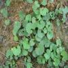 Gotu Kola Extract / Centella Triterpenes 70%-98%