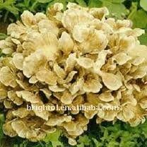High Quality Maitake Mushroom extract