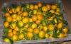 New Crop Mandarin Orange Fruit