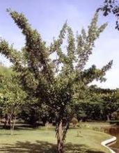 Mimusops hexandra Seeds , Ceylon Iron Wood, milk tree, wedge-leaved ape flower , Seeds Hindi: drirh,khirni, Marathi: karani, k