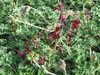 Pelargonium Sidoides Extract (Umckaloabo, Bronchitis)