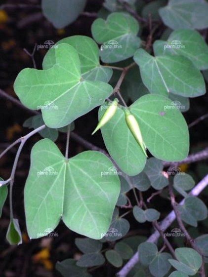 Bauhinia Seeds Marathi