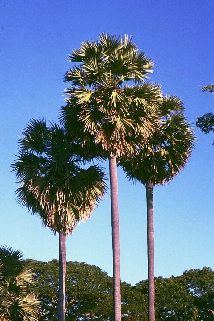 Palm Seeds Marathi Tad