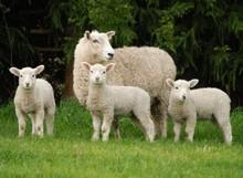 Lamb Premium Quality Halal (Irish)